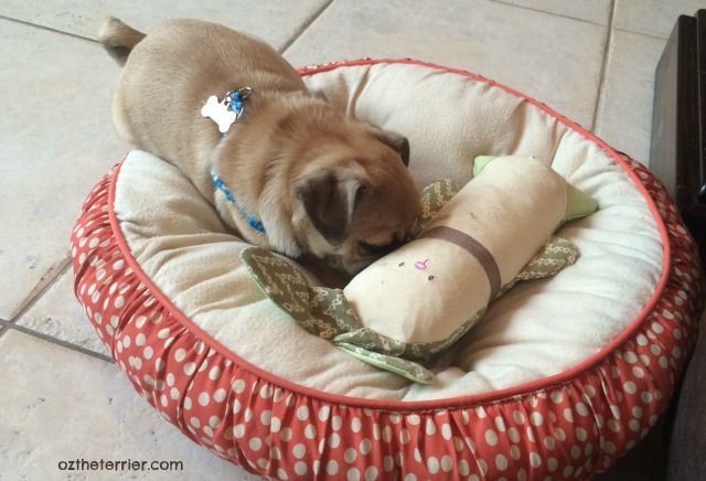 Puppy Pug Louie with Kathy Ireland Loved Ones Crinkle and Chew Bunny toy