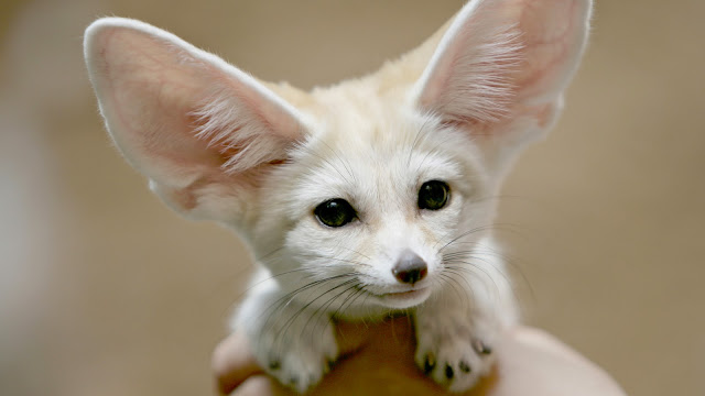 18921-Fennec Fox Animal HD Wallpaperz