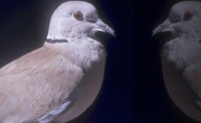 Ring necked doves