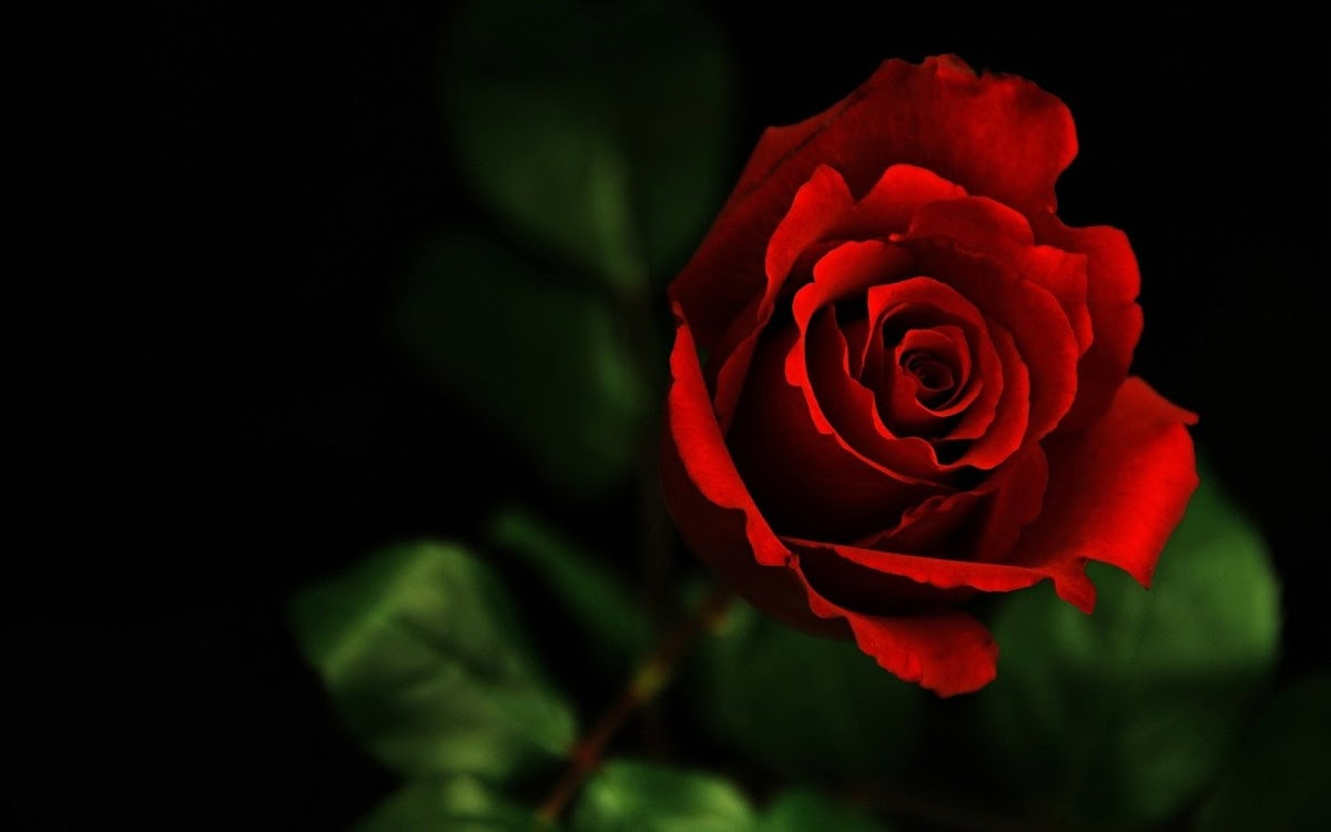 Red Rose Widescreen HD Wallpaper 7