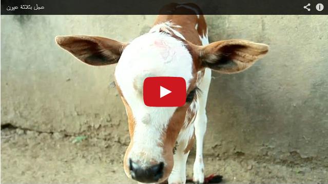فيديو : عجل بثلاثة عيون
