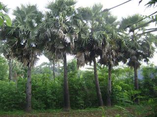 flora NTT