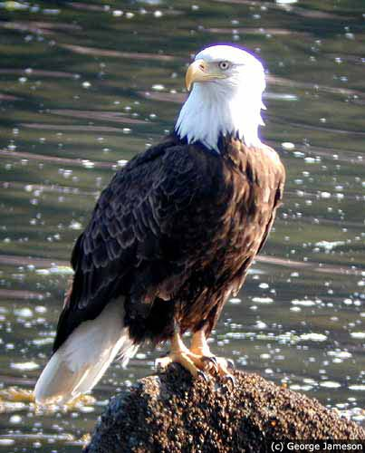 Photo A handsome bald eagle
