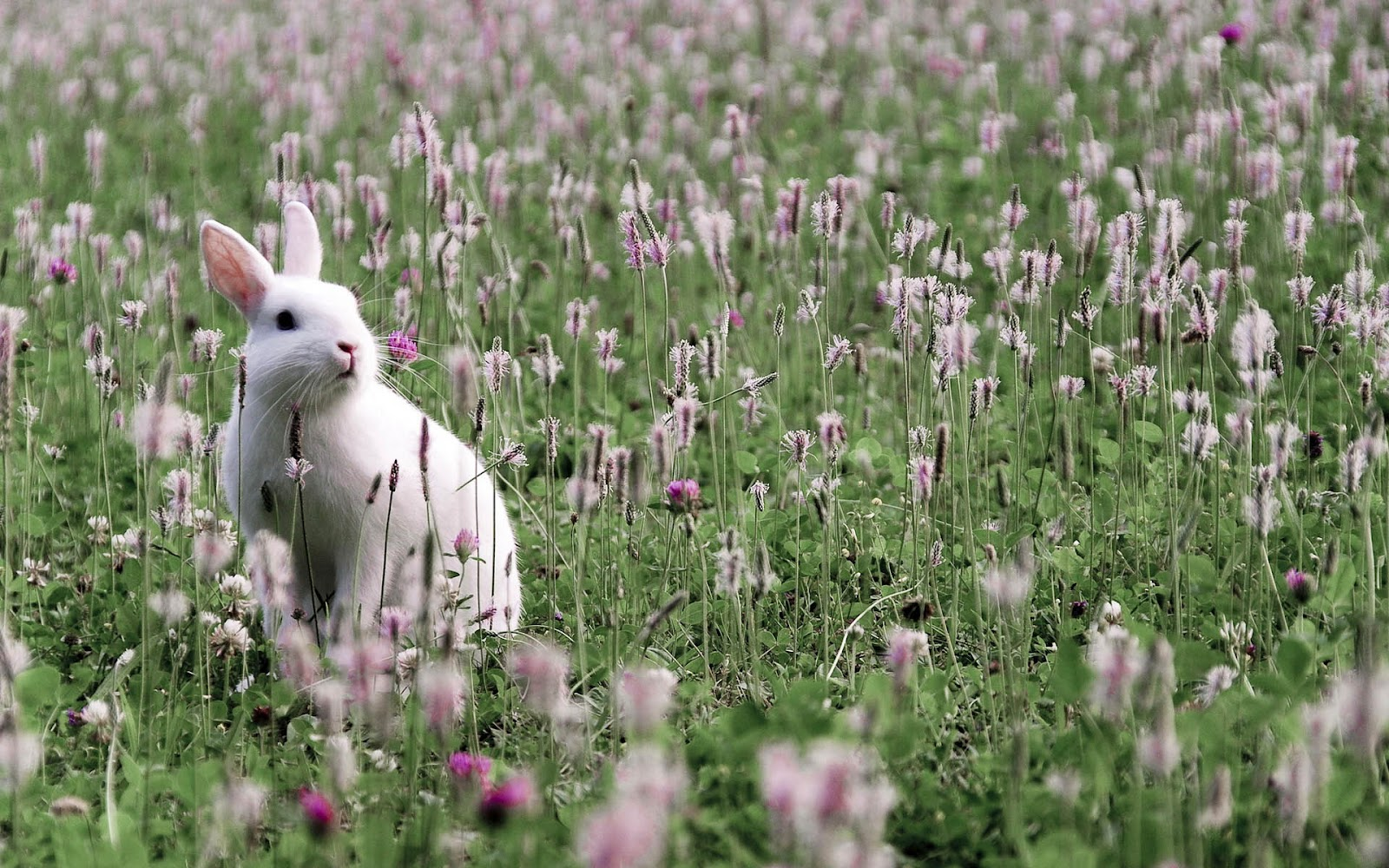 Great   Wallpaper Horse Flower - hd-rabbits-wallpaper-with-a-white-rabbit-and-flowers-and-grass-background-picture  Pictures_74576.jpg