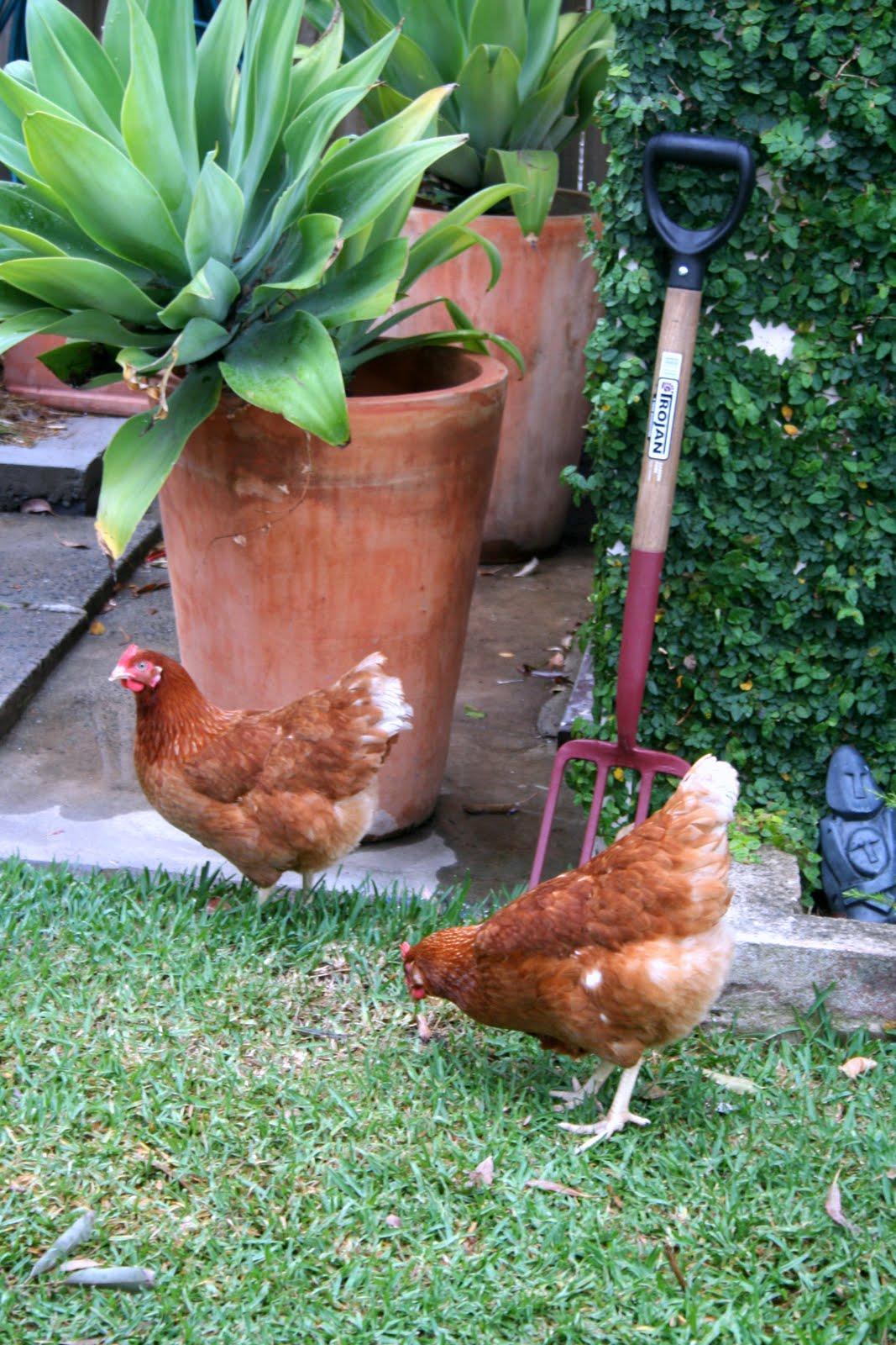 lilyfield life why i keep backyard chickens