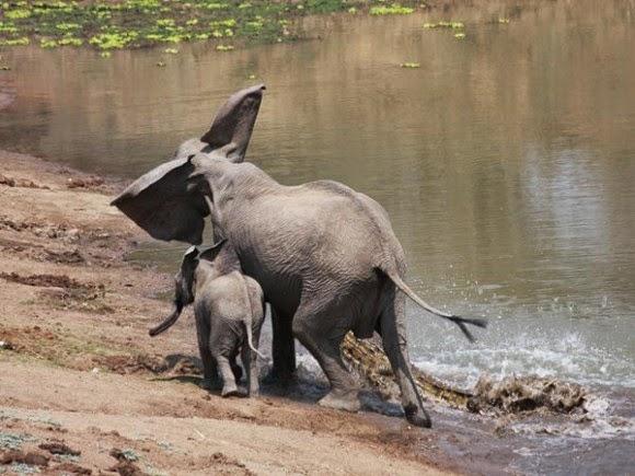 صور نادرة لتمساح يهاجم فيله على ضفاف النهر 51ad09ba93