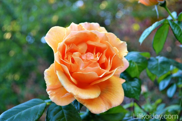 Summer Garden Tour: Easygoing floribunda rose