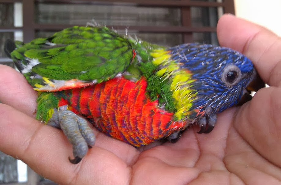 Tame Rainbow Lory