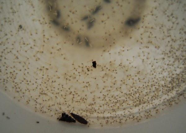 Larve di zanzara appena schiuse
