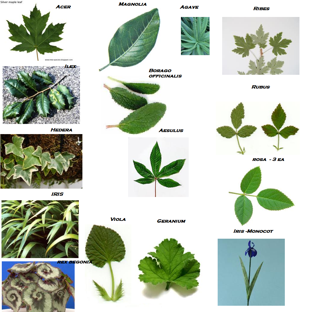 Tree leaf names pictures