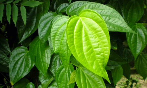 Betel Leaves Benefits For Body Health