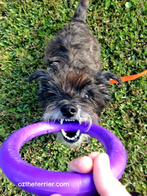 Oz the Terrier playing tug with PULLER ring for dogs