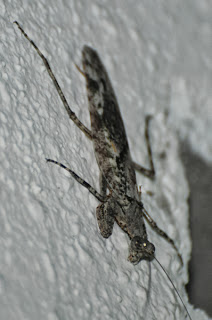 Mantid cf Haania sp