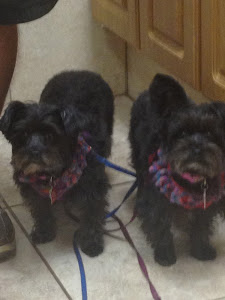 Our Morkies