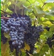 Suco de uva puríssimo