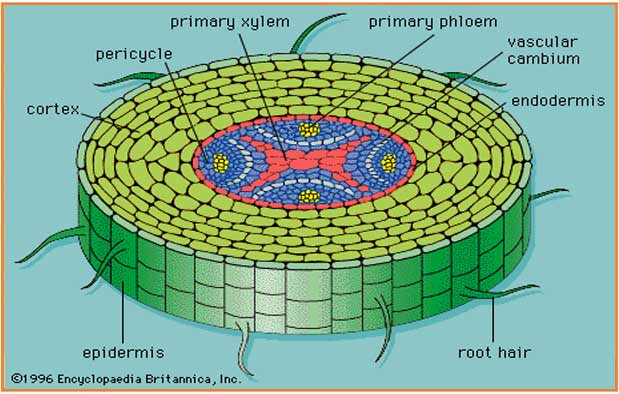 tumbuhan juga disusun atas jaringan epidermis 5 Fungsi Jaringan Epidermis Pada Tumbuhan