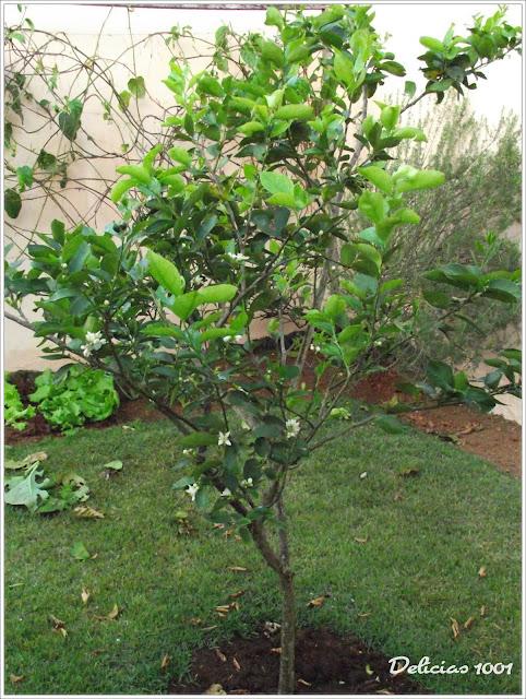 horta jardim e pomar:Meu pomar/horta/jardim: LIMOEIRO – Delícias 1001Delícias 1001