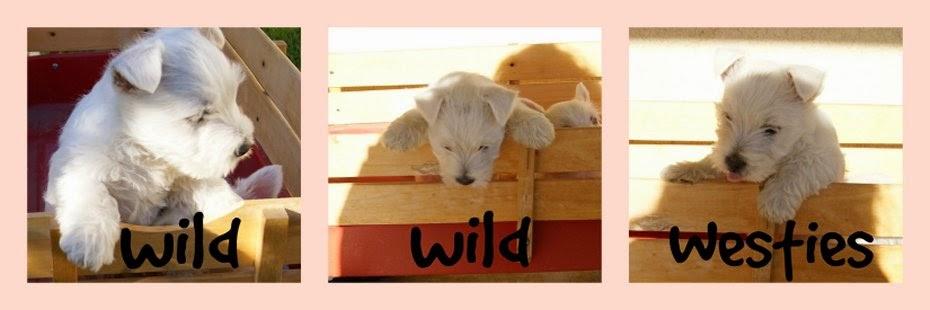 Wild, Wild, Westies!!!