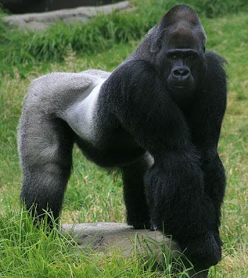 gambar gorilla jantan