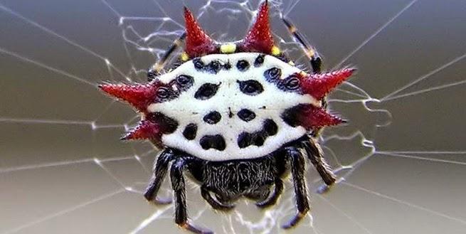 Laba-laba bertanduk Atau Laba-laba Kepiting