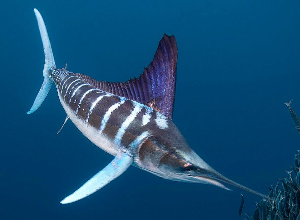 Big fishes of the world marlin striped tetrapturus audax for Big fish in the ocean