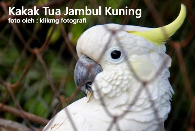 Kakatua Jambul Kuning - foto oleh : klikmg fotografer Indonesia