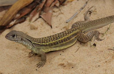 Lagarto hembra, 208 nuevas especies descubiertas en el Gran Mekong, Asia - 2011