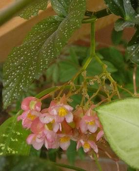 fleurs de style conseils en orchid es fleurs plantes astuces b gonia rex et b gonia croix. Black Bedroom Furniture Sets. Home Design Ideas