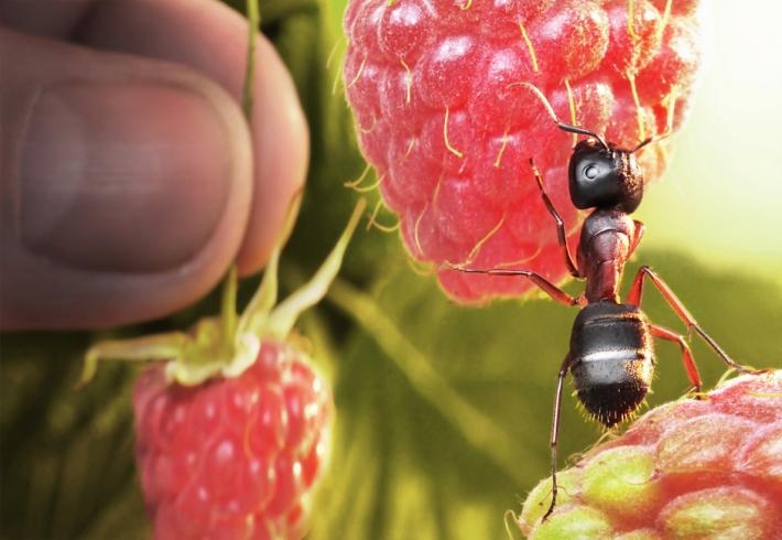 Imagem de Formigas operaria