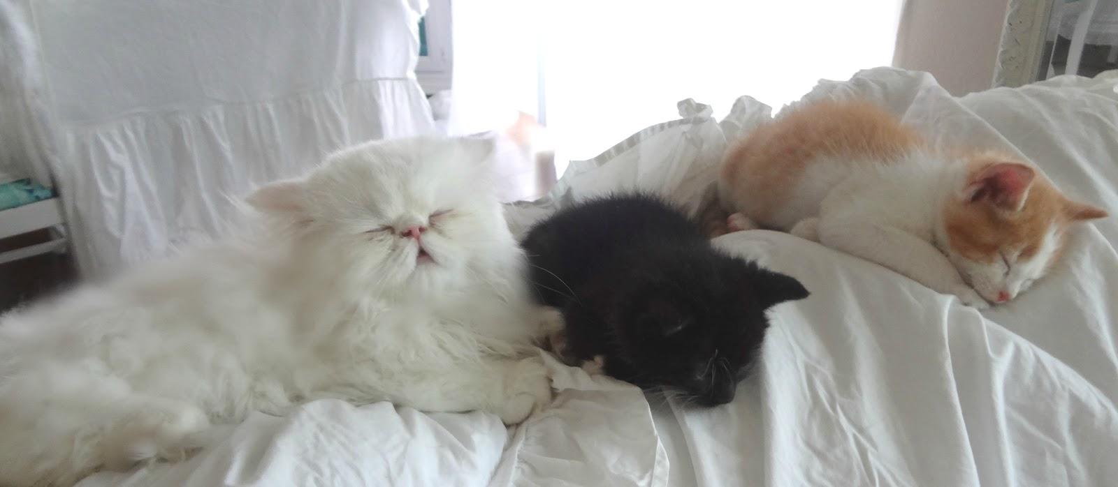 Cat play dates in Australia