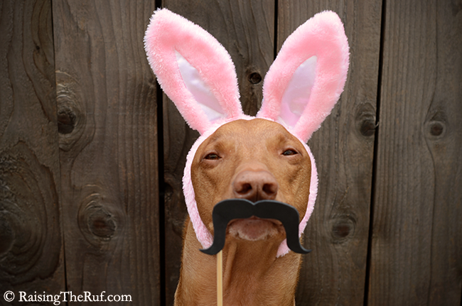 easter rabbit dog ears