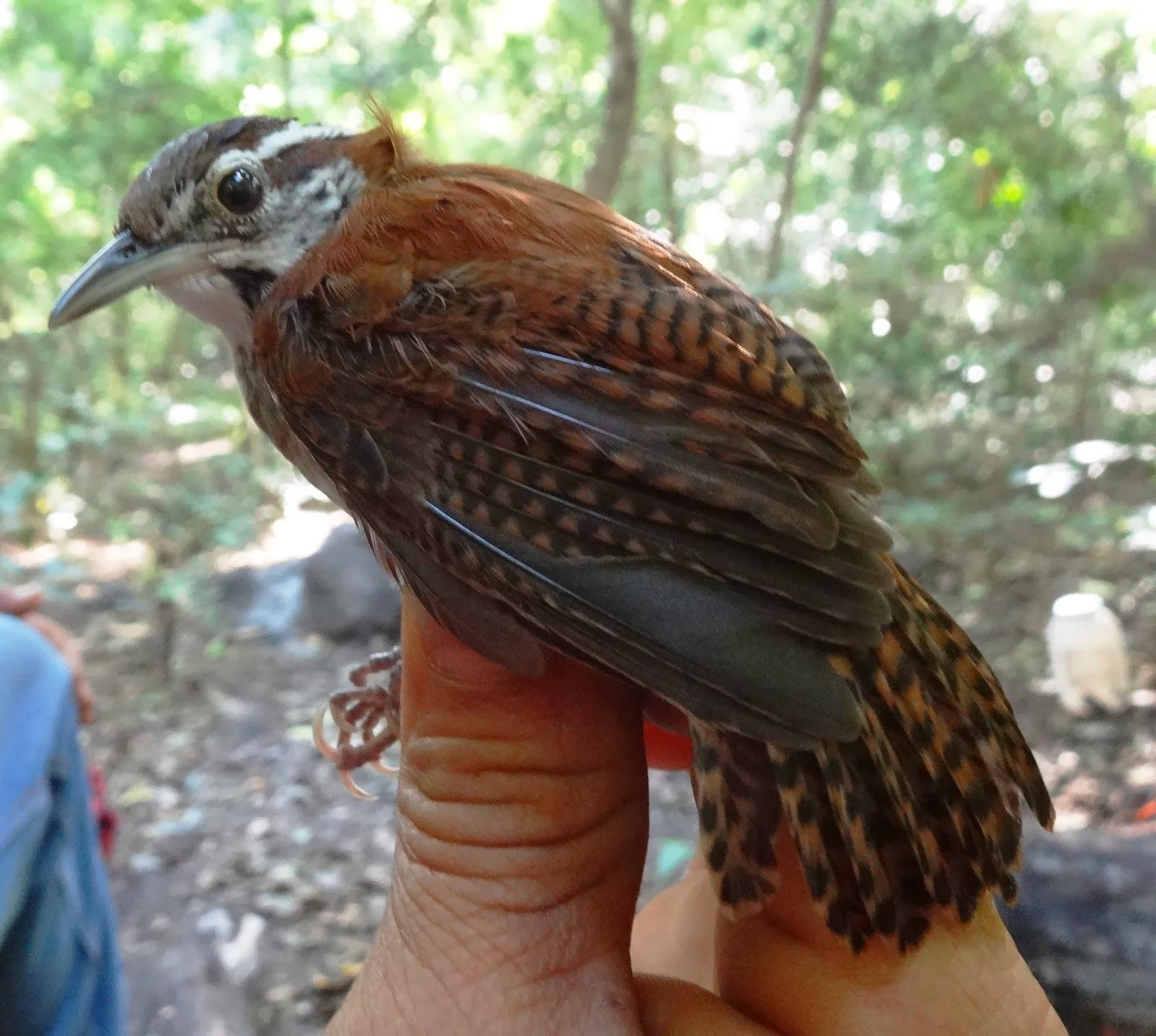 birds in Nicaragua