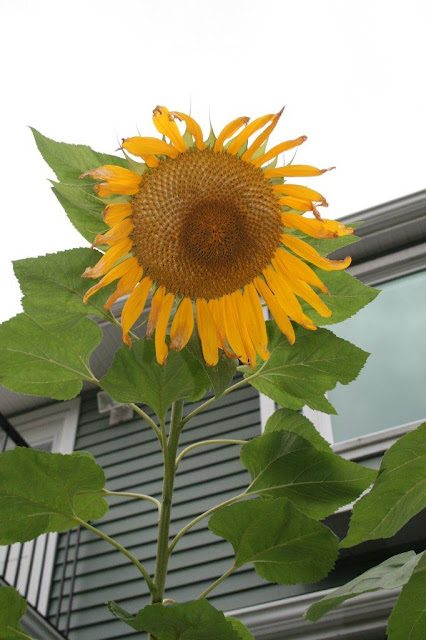 Sunflower giganteus