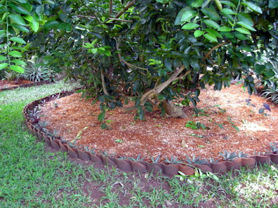 after grass removed from under lemon tree