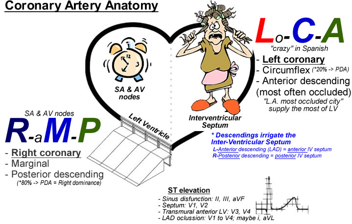 Coronary Artery Anatomy on cranial circulatory system