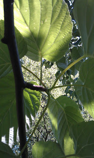 Davidia vilmoriniana - Handkerchief Tree Ruskin Park Leaf Attachment