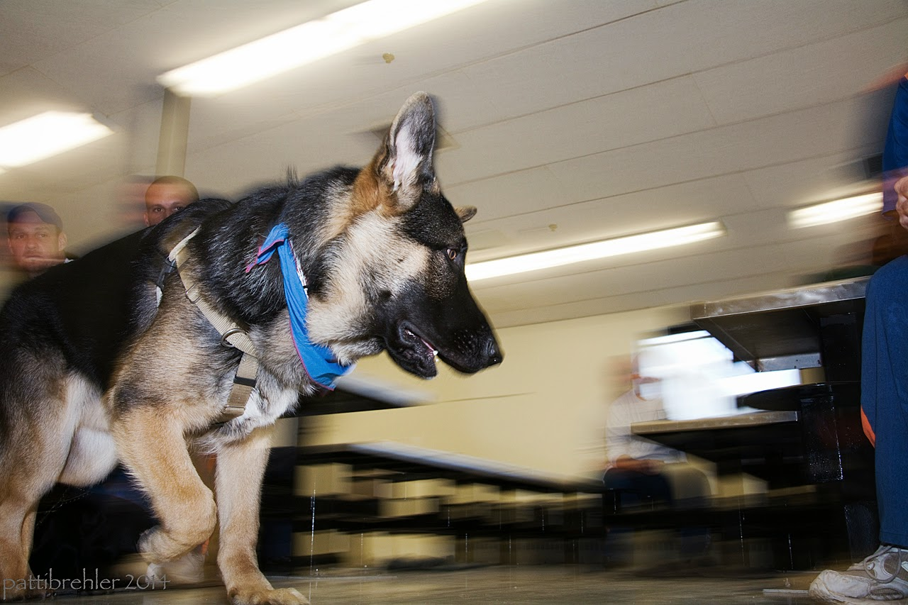 Another blurred shot from floor level, this time of a german shepherd running from left to right. The shepherd is in focus and is looking to his left side.He is wearing the blue bandana.
