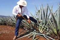 tequila agave Mexico