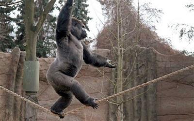 gorilla tightrope
