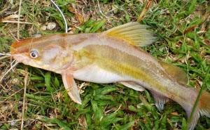 jangkrik pelet udang dan ikan ikan kecil baung mystus nemurus