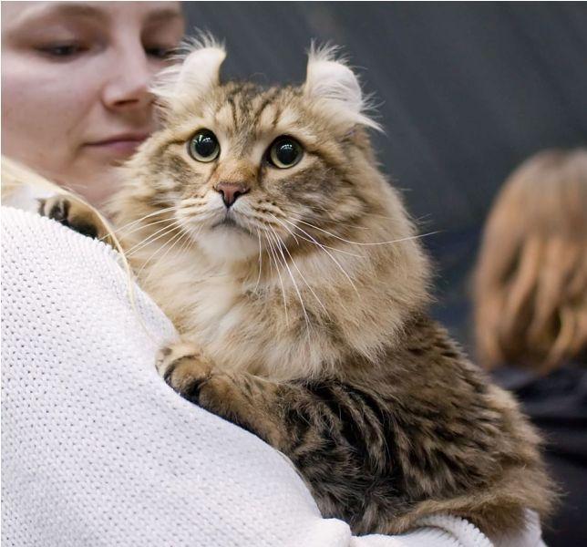 American Curl Cat Size