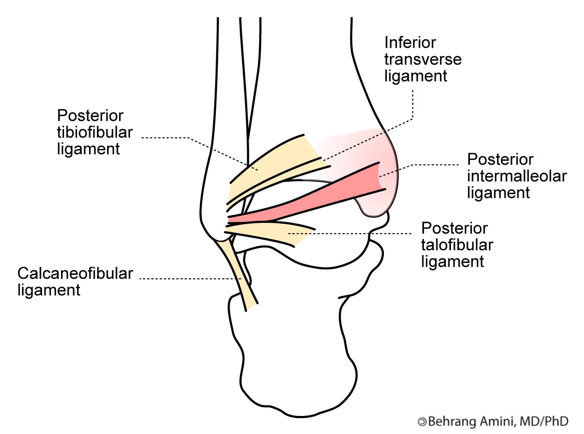 Posterior Intermalleolar Ligament | Human Anatomy