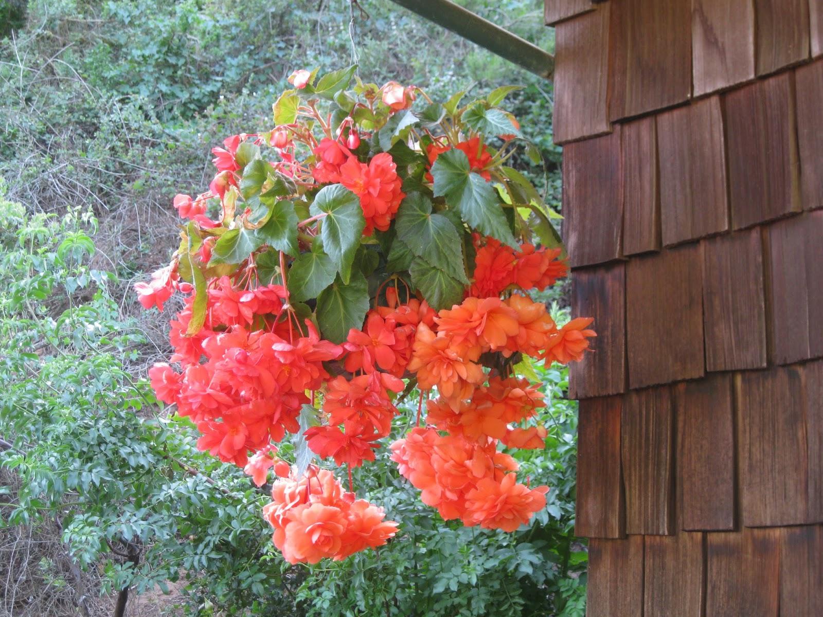 Begonias In The Mist Begonias In Our Garden