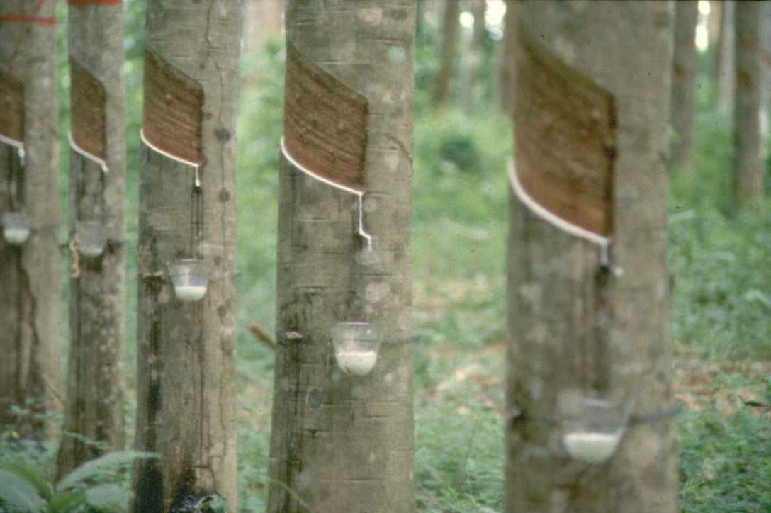 ขายสวนยาง เมือง จันทบุรี