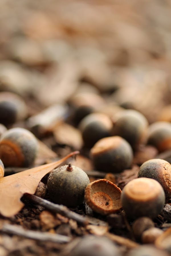 Acorns ~ Photo by ChatterBlossom #autumn #acorn #fall #oak #tree