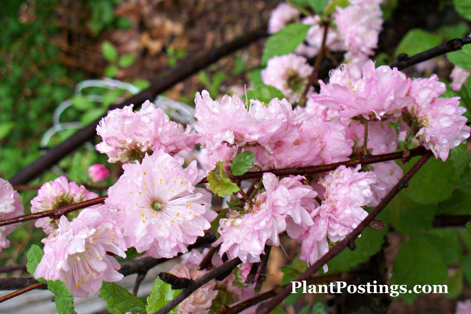 PlantPostings: Plant of the month: Dwarf Flowering Almond