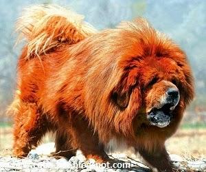 Anjing termahal didunia