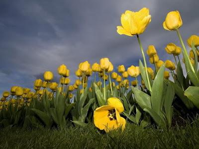 hoa tulip 9