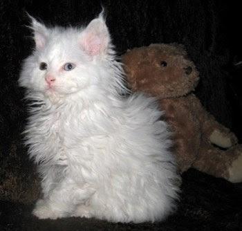 Mengenal Kucing Lambkin Dwarf