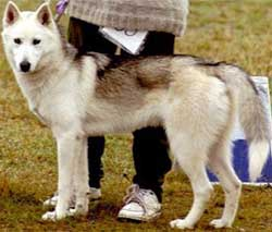 Foto Anjing Siberian Husky White